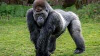 最开放的大猩猩,女游客看完害羞红脸,这样都没有人管吗?