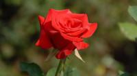 十二星座惹别人生气后会选择什么礼物去道歉?双子座的玫瑰花最浪漫