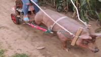 我们这穷乡僻壤的,驴卖了,换个猪拉我去地里干活吧!
