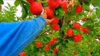 农业之蜜饯苹果树