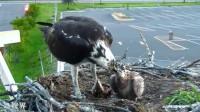 鹰妈妈给孩子带回一条鱼,一口一口啄开,耐心喂食雏鸟!