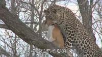 花豹捕到一只狗,爬到树上刚想进食,然后它却让气晕了