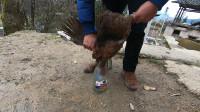 贵州农村用玻璃瓶杀鸡,这古老的方法还是第一次见,有见过的吗?