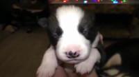 小奶狗的眼睛还没完全睁开,半睁不睁的样子太搞笑了