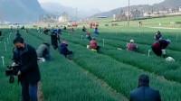 全村人出动收割青菜,用自己的微薄之力支援武汉,给白衣天使们加油!