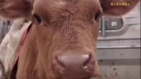 被卖上牛肉车的小牛,临走前想妈妈,一开口叫碎了多少心!