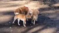 三只柴犬正在进行神秘的入教仪式