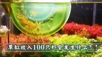 草缸中放100只虾会发生什么?!