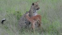 另人难以理解的花豹玩弄猎物行为!