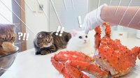 【CreamHeroes】【中字】猫咪们见到帝王蟹的反应