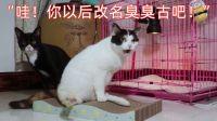 猫咪无意中闻到同伴的屁屁,表情马上变得无比难受而嫌弃【第七十期】