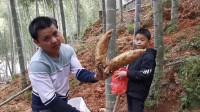 农村小伙躲避疫情回农村,来到自家竹林挖冬笋,一斤卖15元太好赚了