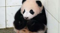 为何熊猫咬人后会绝食?是内疚吗?饲养员告诉你答案