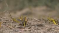 实拍沙漠蝗虫疯狂繁殖 下周将是关键时刻