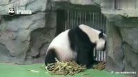 熊猫:阿福的笋笋吃光了,一脸委屈等奶爸给笋笋吃