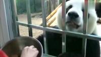 话痨大熊猫金虎:金虎和饲养员一问一答,从头上抓食物的动作萌了