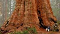 世界上最大的树,存活3200年,体重2800吨,它出生时中国还在商朝