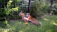 小狮子PK小老虎,谁的胜算比较大