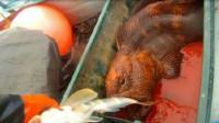 """渔民抓到一条""""龙鱼"""",养了6年舍不得吃,专家瞧后惊讶了!"""