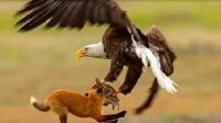 狐狸捕捉兔子,老鹰把它俩一起叼上天,接着出现了戏剧性的一幕