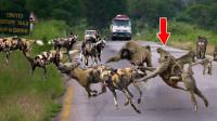 15只野狗疯狂围捕1只狒狒,不料结局意外了,镜头记录全过程
