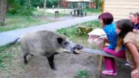一家人在院子里聊天,1头200斤野猪突然闯入,镜头拍下全过程
