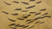 生命力最顽强的鱼,在沙漠中生活5万多年,如今面临灭绝仅剩37条!