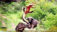 鳄鱼正偷袭野牛,同伴见状赶来将鳄鱼顶飞,镜头记录激烈过程