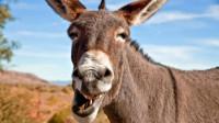 马和驴能完美结合,为何骡子不能有后代?真相让人挺尴尬