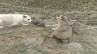 狗狗发现土拨鼠,久攻不下急得叫,土拨鼠的防御滴水不漏!