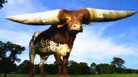 世界上最长的牛角,长度达到2.4米,有人出130万主人都不卖!