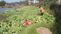 解封了今天这么大的风了,老妈摘了一大背篓白菜苔送给亲戚