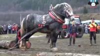 这么高大的马匹第一次见,马力相当厉害!