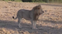 雄狮走路遇到母狮,它们的互相配对,镜头拍下全过程