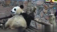 熊猫小时候晒太阳乖巧可爱,而长大后简直看着让人不想看