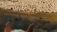 蒙古国送来的30000只羊到了