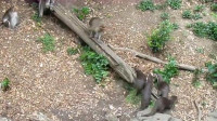 猴子经常欺负水獭,水獭兄弟岂能坐视不理,报复方式太残忍!