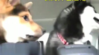 二哈被中华田园犬狂亲, 第一次见哈士奇这么烦。
