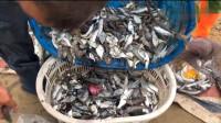 实拍渔村赶海拉大网,一网捕了几千斤值钱靓货,连拖拉机都用上了!