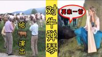 搞笑!外国美女对牛弹琴,男子组乐队给牛演出牛都听不下去!