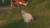 早晨6点的美丽村庄,猫咪和牛一起早起做运动