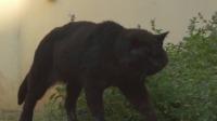 罕见的黑色公猫,它的头很大很强壮