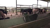 猫咪陪主人喂牛,小向导带路获赞扬