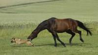 一匹马被5头狼同时围攻,马直接跪地翻滚,这画面把狼看呆了!