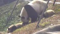 熊猫妈妈将宝宝推进沟里,突然想起娃是亲生的,神反转太可爱了
