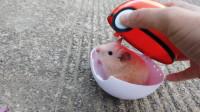 宠物日常:小仓鼠会不会过敏?仓鼠也是会得皮炎的呢