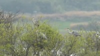 鄱阳湖首批夏候鸟幼鸟进入学飞阶段 新闻30分 20200331