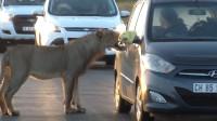 游客开车到野外碰上狮子,不料狮子试图打开车门,场面太惊险