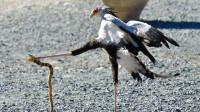 这种鸟是毒蛇的天敌,捉蛇像是吃虫子似的,毫无还手之力!