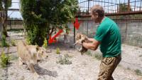 饲养员趁母狮不在,把小狮子抱出来晒太阳,母狮回来就怒了
